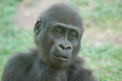 DSC_1282 (Schepers Ronald) Tags: animals monkey pig wolf dino gorilla pg monkeys hippo dieren lynx aap cheeta varken nijlpaard dinosaurus paard paarden buffel zwijn giraf struisvogel stokstaart veelvraat vogelstruis