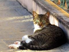 gato (juberto silva) Tags: gato felino viralata