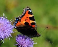 Small Tortoishell near Hunterston (g crawford) Tags: macro closeup butterfly insect scotland scottish insects crawford scots ayrshire hunterston smalltortoishell