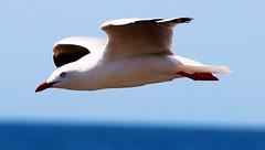 stream lined gull (George Elliott Photography) Tags: freedomtosoarlevel1birdphotosonly freedomtosoarlevel2birdphotosonly