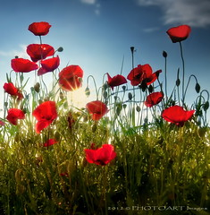 Tuscan tall poppies (PhotoArt Images) Tags: flowers red italy explore tuscany poppies cliche tallpoppies photoartimages