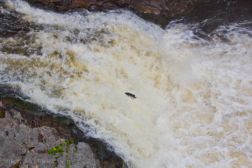 Salmon leaping, Falls of Shin