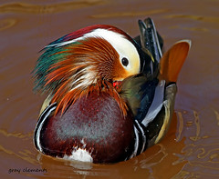 "mandarin ("" yer tis my ansome "") Tags: water birds canon wildlife ducks explore devon 7d mandarin dartmoor christow specanimal colourfulbirds colourfulducks mygearandme photocontesttnc12 picturestakenwithcanon7d"