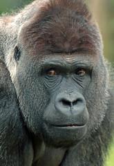 gorilla Burgerszoo JN6A6600 (j.a.kok) Tags: gorilla burgerszoo westernlowlandgorilla lowlandgorilla laaglandgorilla westelijkelaaglandgorilla