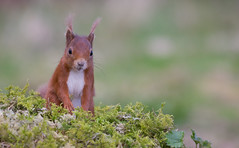 Red Squirrel (forbesimages) Tags: red wild nature animal canon scotland fife squirre