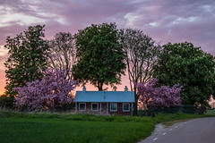 Purple Sky and blossoms
