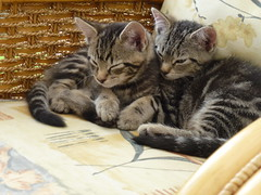 My Two Babies ! (Mara 1) Tags: cats pets white black animals eyes chair faces legs stripes tabby ears fawn tails