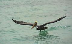 Caribbean Celebrity cruise. (ost_jean) Tags: cruise celebrity animal nikon caribbean animaux dieren vogel pelikaan d5200