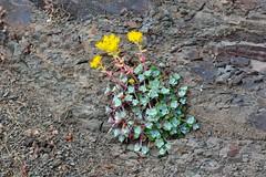 Broad Leaved Stonecrop (Sedum spathulifolium) (R-Gasman) Tags: canada britishcolumbia gulfislands wildflower mayneisland sedumspathulifolium broadleavedstonecrop bennettbay