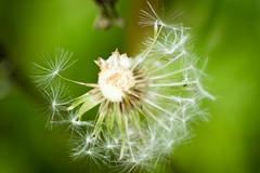 Half a wish (trinbird) Tags: summer white macro green nature nikon bokeh almost wish nikond3200 tamaron d3200