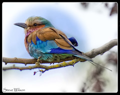 The most colorful of birds ? (Steve Wilson - over 8 million views Thanks !!) Tags: africa blue color colour bird nature beautiful zoo nikon colorful cheshire african wildlife chester lilac roller savannah colourful d200 avian lilacbreastedroller nikond200 rollerbird