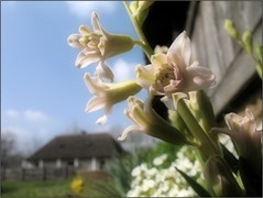 Skansen Spring (Tölgyesi Kata) Tags: spring hungary skansen openairmuseum hungarian hyacinthus skanzen jácint falumúzeum withcanonpowershota620 nyíregyházaskanzen nyíregyházamúzeumfalu sóstóimúzeumfalu nyíregyháziskanzen