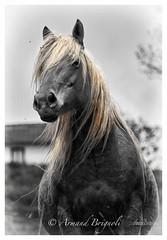 Cheval Ardchois (armandbrignoli) Tags: animal cheval ardche bw noir et blanc couleur horse canon 5dsr