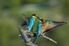 Gupier d'Europe Merops apiaster - European Bee-eater (Julien Ruiz) Tags: european beeeater merops apiaster deurope gupier