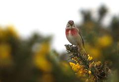Linnet at Broadwater (Sue Wolfe) Tags: flowers nature birds wales landscapes westwales wildlife cymru wildflowers ceredigion montgomeryshire meirionnydd dyfiestuary dyfi dysynni dysynnivalley welshwildlifebreaks dyfibiosphere dyfiospreyproject