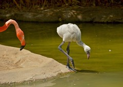 "Young Flamingo ""testing the waters"" (d.r.garvin) Tags: bird flamingo sandiegozoo babyanimal"