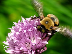 Bumblebee on a Chive Flower 3 (thatSandygirl) Tags: flower macro green texture nature animal garden insect outdoors purple blossom lavender bee bumblebee bloom herb chive