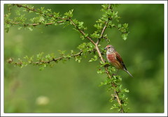 Linotte mlodieuse (guiguid45) Tags: bird nature nikon oiseaux sauvage loiret cardueliscannabina 500mmf4 commonlinnet d810 linottemlodieuse passereaux