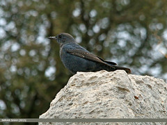Blue Rock Thrush (Monticola solitarius) (gilgit2) Tags: avifauna birds bluerockthrushmonticolasolitarius canon canoneos70d category fauna feathers geotagged imranshah kallarkhar location pakistan punjab sigma sigma150500mmf563apodgoshsm species tags wildlife wings gilgit2 monticolasolitarius kallarkahar 05birds