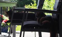Lurking in the shadows (Finn Frode (DK)) Tags: shadow pet cats animal cat denmark chair outdoor olympus som somali verandah mixedbreed somalicat lurk bastian domesticshorthair caithlin omdem5 dusharacathalcaithlin