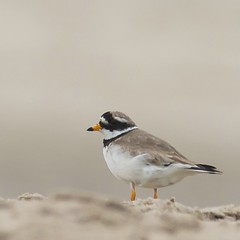 Bontbekplevier - Common Ringed Plover - Charadrius hiaticula (H.Rigters) Tags: bird beach birds animal animals strand sand nikon outdoor vogels nikkor plover maasvlakte vogel zand d600 commonringedplover ringedplover charadriushiaticula hiaticula charadrius plevier nikon300mmf4 bontbekplevier nikond600 hennyr