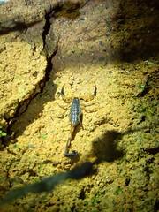 Khao Sok NP (Night Safari), Thailand (Jan-2016) 15-002 (MistyTree Adventures) Tags: nature night insect thailand seasia outdoor scorpion khaosok nightsafari panasoniclumix khaosoknationalpark