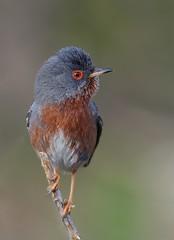 Toutinegra-do-mato / Dartford Warbler (anacm.silva) Tags: wild naturaleza bird portugal nature birds wildlife natureza ngc aves ave serradafreita sylviaundata dartfordwarbler toutinegra toutinegradomato