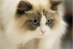 Sweetness  (Simply Viola) Tags: pet animal cat feline felino catshow ragdollcat mostrafelina sfilatadeigatti mostradeigatti