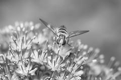 Soft landing (judi may) Tags: blackandwhite flower macro monochrome insect mono dof bokeh stripes allium hoverfly canon7d monochromebokehthursday