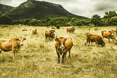 BEGIRADAK / MIRADAS (T.Miravalles) Tags: verde landscape paisaje animales animaliak paisaia hodeiak berdea castillayleon villasanademena canon7d canon1585