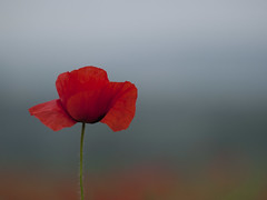A tous les vents (Titole) Tags: red poppy shallowdof explored titole nicolefaton
