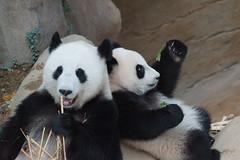 10-month-old (almost) Nuan Nuan and mother Feng Yi aka Liang Liang 2016-06-16 (kuromimi64) Tags: bear zoo panda malaysia nationalzoo kualalumpur giantpanda   zoonegara     fengyi   liangliang nuannuan selangordarulehsan  zoonegaramalaysia