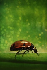 The Bokeh of Ladybird (MOSTAFA HAMAD | PHOTOGRAPHY) Tags: pictures photography fotografie photographie bokeh ladybird fotografia hamad  mostafa fotografa the fotografering  fotoraflk