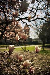 Cardiff Bute Park Blossoms (Mooganic) Tags: park uk pink flowers trees sun castle film wales spring nikon fuji blossom bokeh superia cardiff f100 200iso magnolia cpl bute 35mmafsnikkor