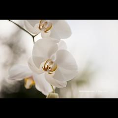 Orchid (Daniela Romanesi) T