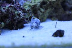 aquarium reef saltwater nassarius