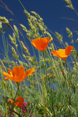 Spring Color (pilz8) Tags: california color nature poppy wildflowers pilz8