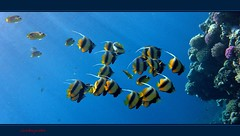 This is the Red Sea (Jambo Jambo) Tags: sea mare underwater redsea egypt sharmelsheikh snorkeling pesci reef fishes egitto corals butterflyfish barrieracorallina redseabannerfish marrosso coralli bandedbutterflyfish pescefarfalla grandemaregroup pescefarfallabandiera jambojambo mygearandme mygearandmepremium mygearandmebronze mygearandmesilver mygearandmegold pescefarfallafasciato mygearandmeplatinum mygearandmediamond samsungwp10