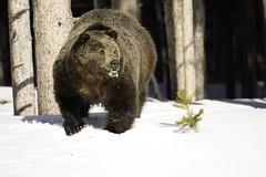 Big Boy (Kristin_Joy) Tags: bear park winter wild snow nature beauty animal fur mammal big wildlife oldfaithful national yellowstonenationalpark yellowstone wyoming grizzly griz ynp 40d
