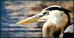 Portrait of a Great Blue Heron (Chris C. Crowley- grieving and recovering) Tags: lake bird heron water face animal eyes wildlife feathers waterbird greatblueheron chriscrowley celticsong22 halifaxharbormarina portraitofagreatblueheron downtowndaytonabeachfl