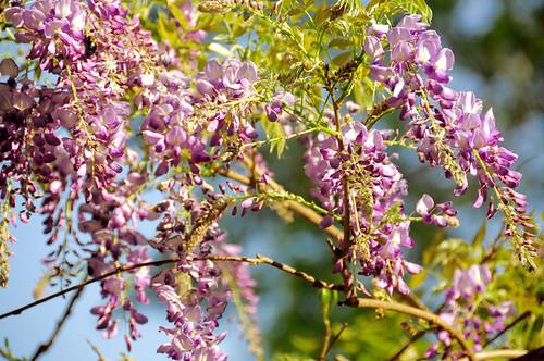purple wisteria plants garden naturelove beautifulflowers dof blossom blossoming petals spring bokeh closeup nikon d90 18200 mm 花卉 紫藤萝 春天 自然 生态 flora