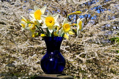 daffodils with shiro plum blooms (manywinters) Tags: flowers blue white yellow spring backyard plum whidbeyisland vase blooms shiro daffodils hss mygearandme