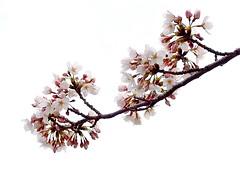 Sakura 9226 (Muchan5) Tags: flowers white flower nature japan spring nikon sakura mygearandmebronze mygearandmesilver mygearandmegold mygearandmeplatinum mygearandmediamond ringexcellence nikonp300