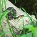 Broad-banded Watersnake