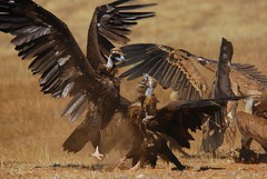 Total War (anacm.silva) Tags: wild bird portugal nature birds nikon wildlife natureza aves ave vulture blackvulture griffon grifo moura vidaselvagem gypsfulvus grifos cinereousvulture griffonvulture abutre aegypiusmonachus anasilva eurasianblackvulture buitrenegro nikond40x europeanblackvulture abutrepreto herdadedacontenda
