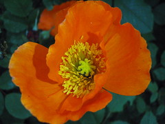 Orange Crush ..... (Mr. Happy Face - Peace :)) Tags: gardening flowersparkgarden strathmore alberta canada foral flower purple pink yellow red beauty beautiful morning walkabout marco color colorful nature closeup hobby mrhappyface shadow southernalberta blossom blossoms art2017 albertabound
