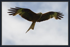 Red Kite (Full Moon Images) Tags: wood red kite bird nature wildlife reserve national monks prey birdsofprey nnr