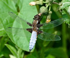 Broad-bodied Chaser (Nige's Place) Tags: uk nature dragonflies wildlife insects damselflies odonata chasers broadbodiedchaser