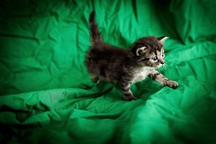 chaton (sylvain.landry) Tags: portrait france animal canon eos chat bestof jour chaton grosplan cs6 5dmarkii