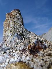 Gigante enano o la rplica del Naranjo (carlosolmedillas) Tags: costa macro playa roca conchas fosil sopelana crustaceos calcareo